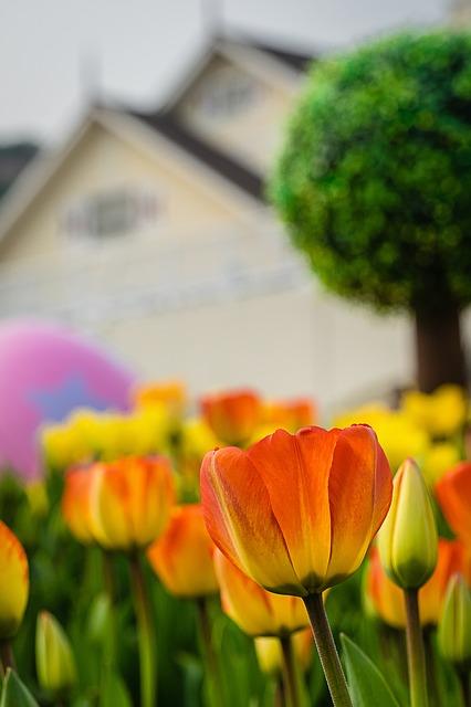 tulip-612481_640